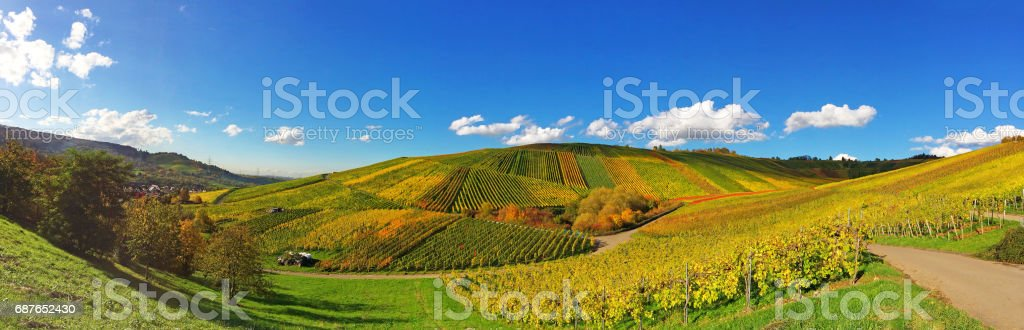 Colorful vineyards in fall stock photo