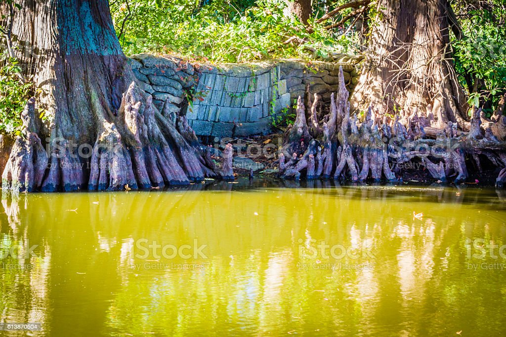 Colorful Water Levy at Reelfoot Lake stock photo