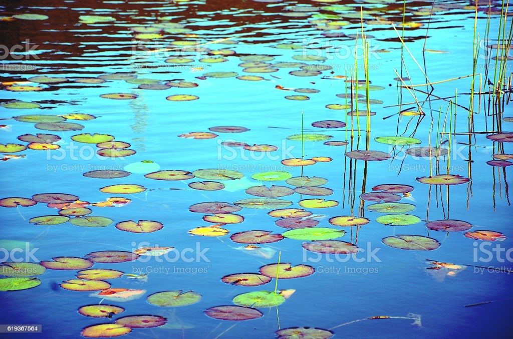 Colorful waterlily pads stock photo