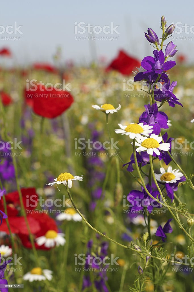 colorful wild flowers nature spring scene royalty-free stock photo