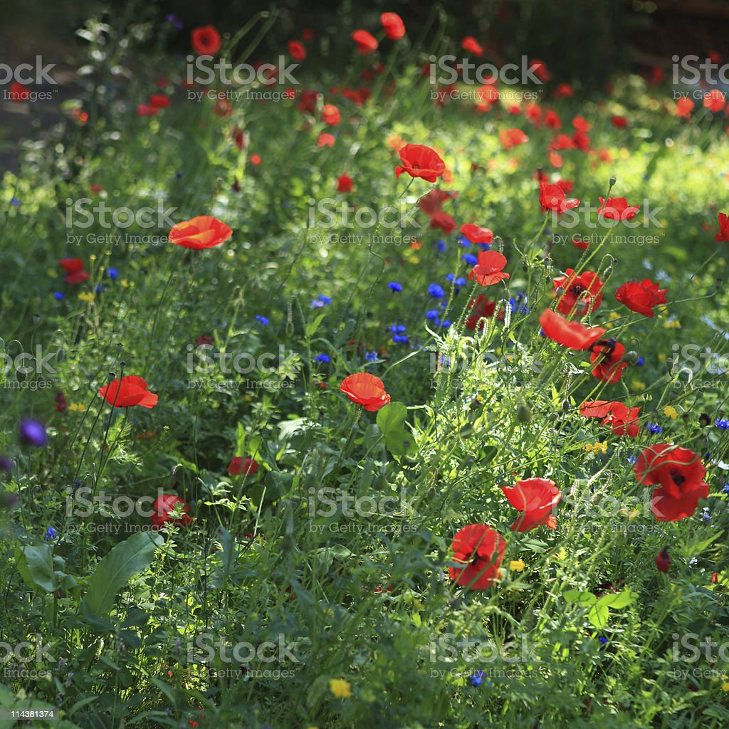 Colorful wildflowers in  summer meadow royalty-free stock photo