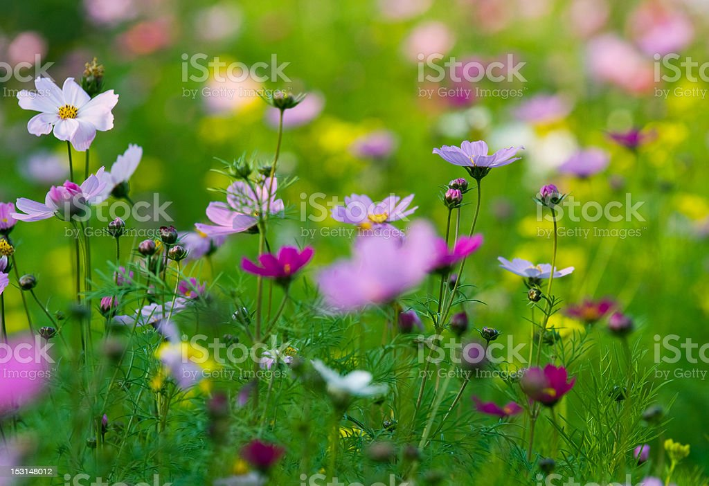 colorful wildflowers royalty-free stock photo