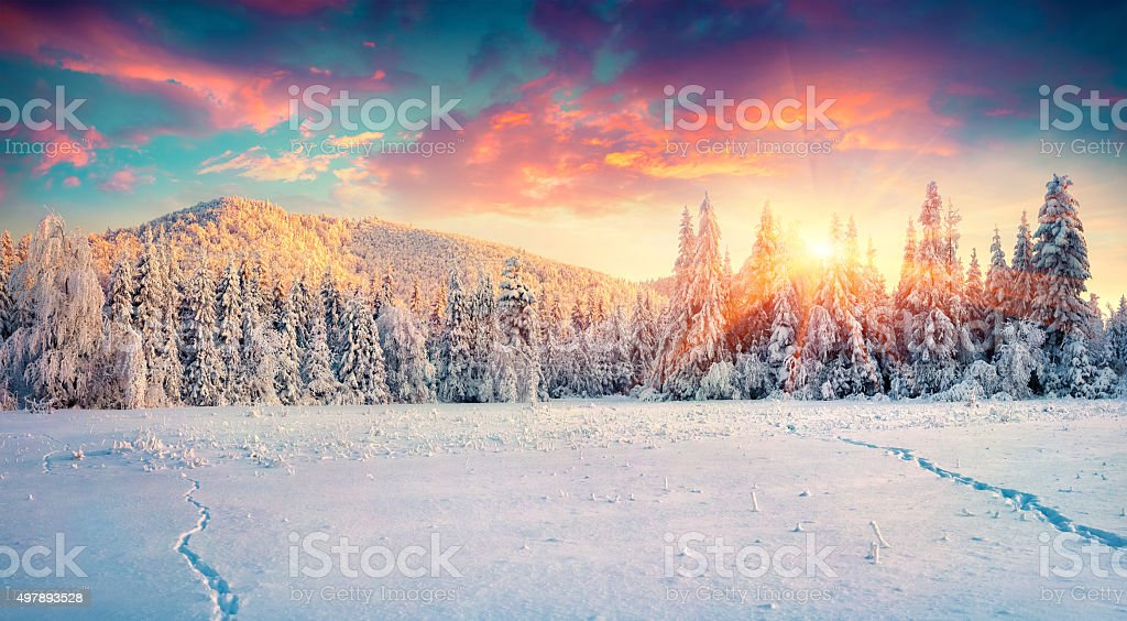 Colorful winter panorama in the Carpathian mountains. Fir trees...