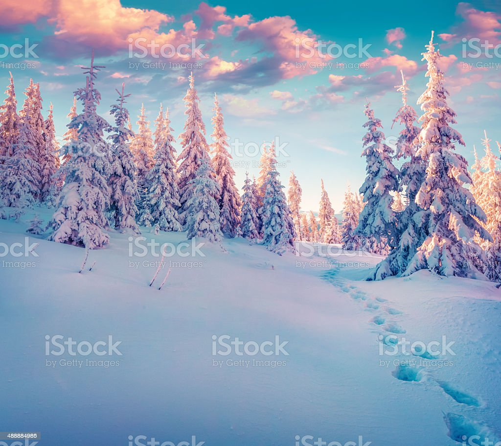 Colorful winter sunrise in the Carpathian mountain forest. Ukraine,...