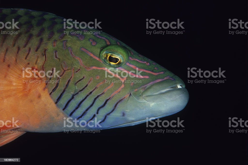 'Colorful Wrasse, Cheilinus digrammus' stock photo