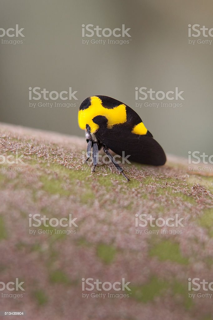 Colorful yellow and black leafhopper Antigua Guatemala copy space stock photo
