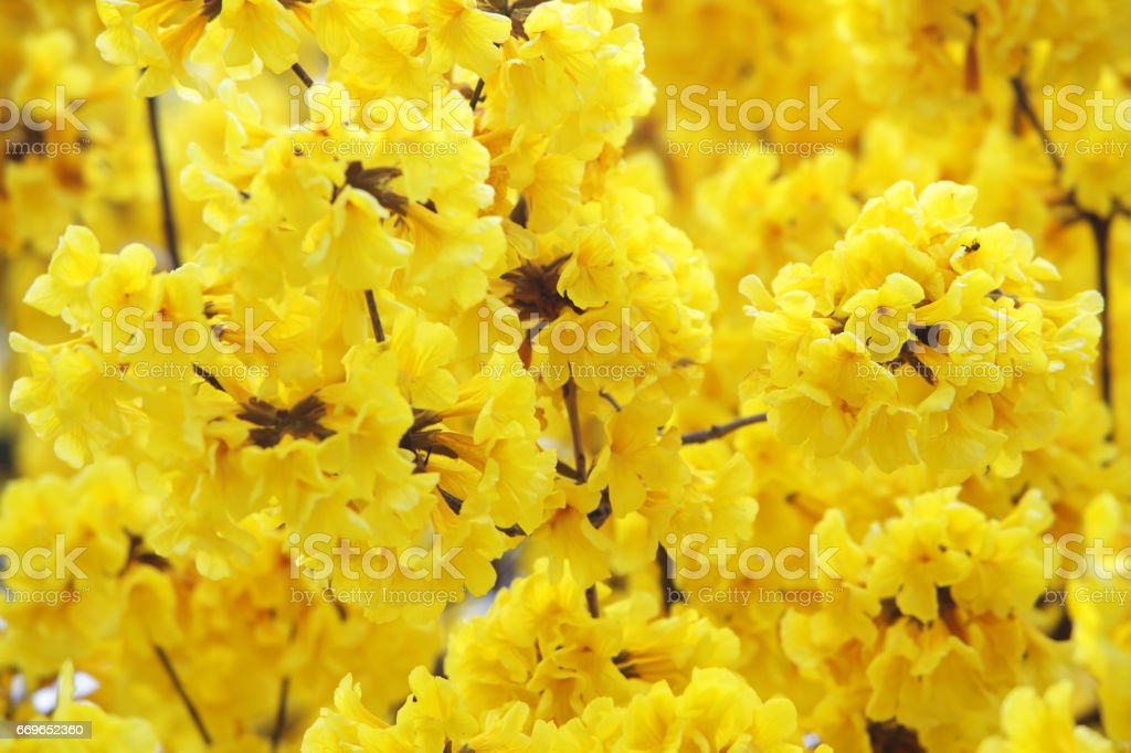 colorful yellow silver trumpet flower as background. stock photo