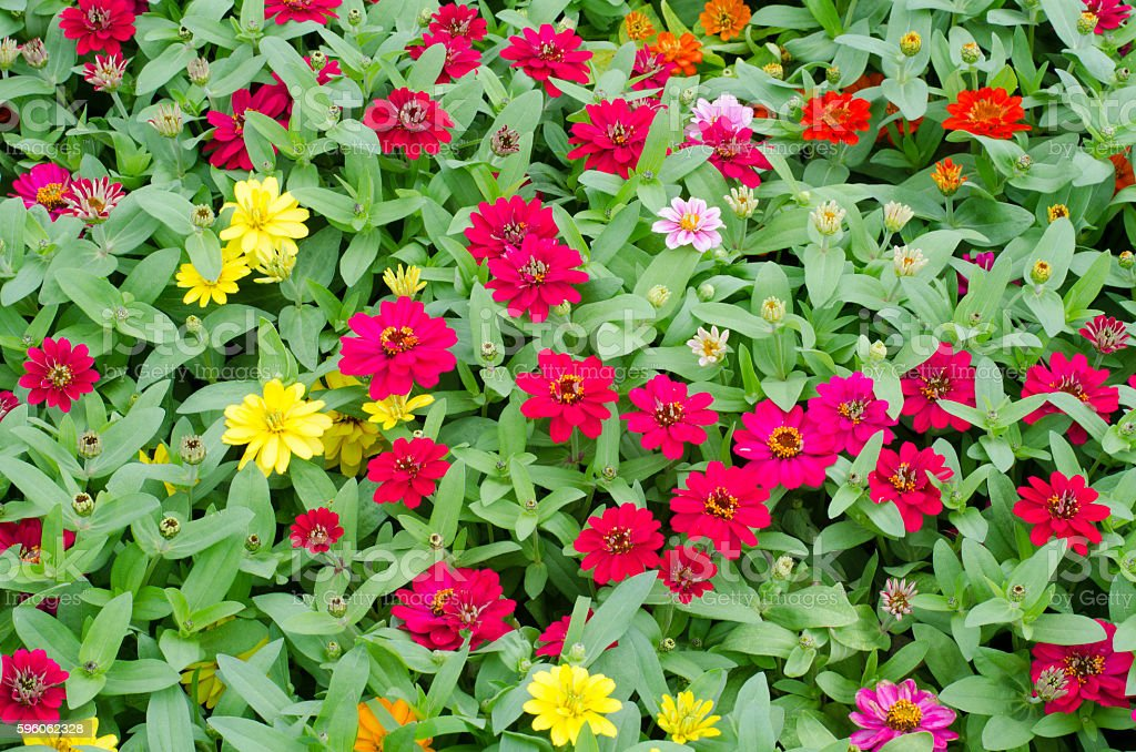 Colorful Zinnia Flower on tree blooming in garden stock photo