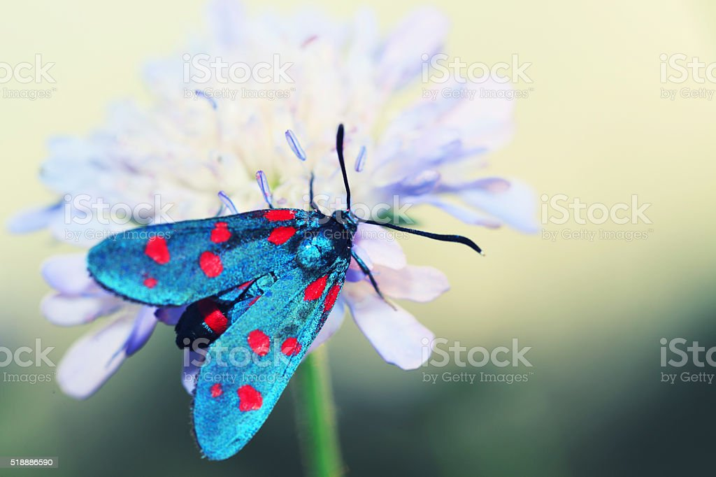 Colorful Zygaenidae moth on wildflower during sunset stock photo