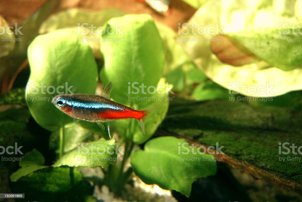 Colorfull fish in a water tank royalty-free stock photo