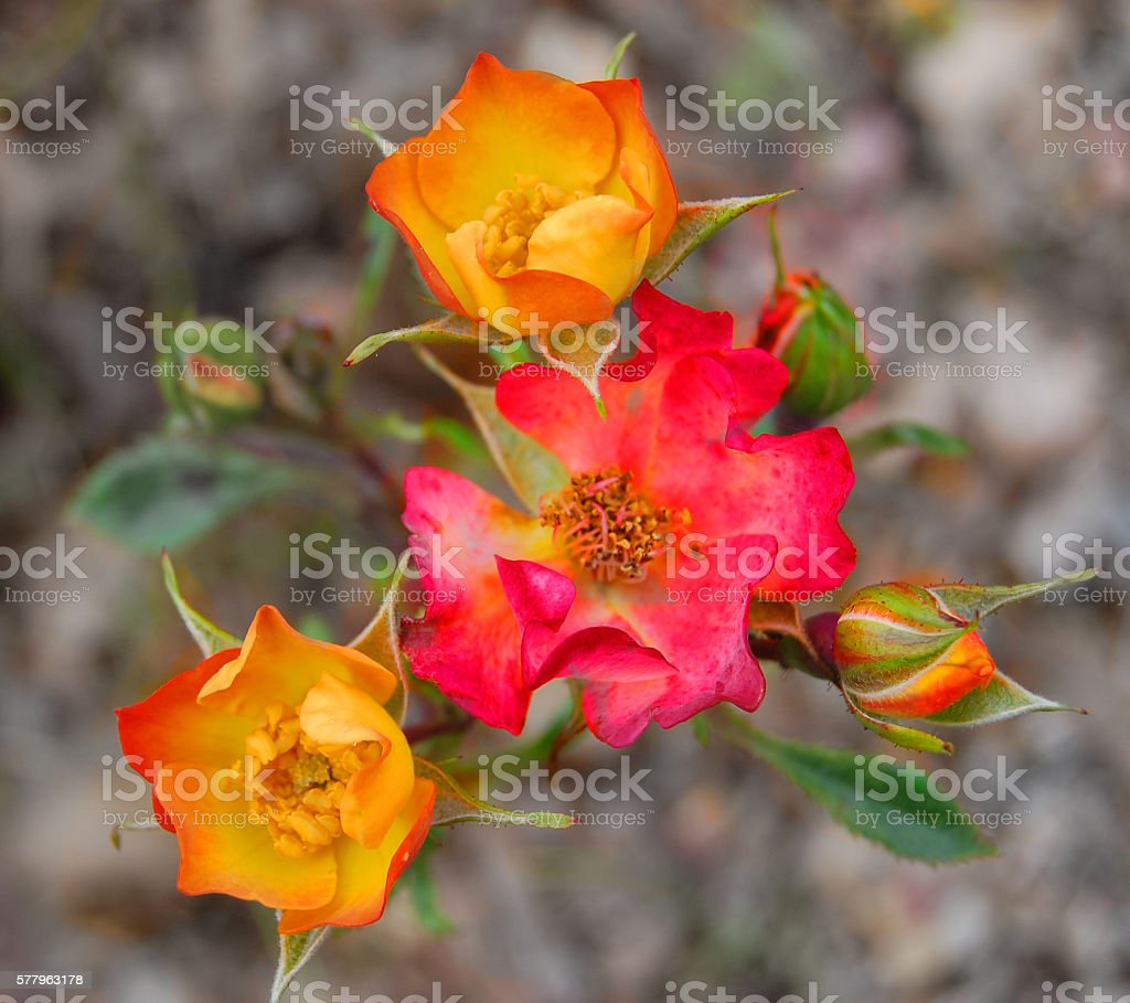 Colorfull Roses stock photo