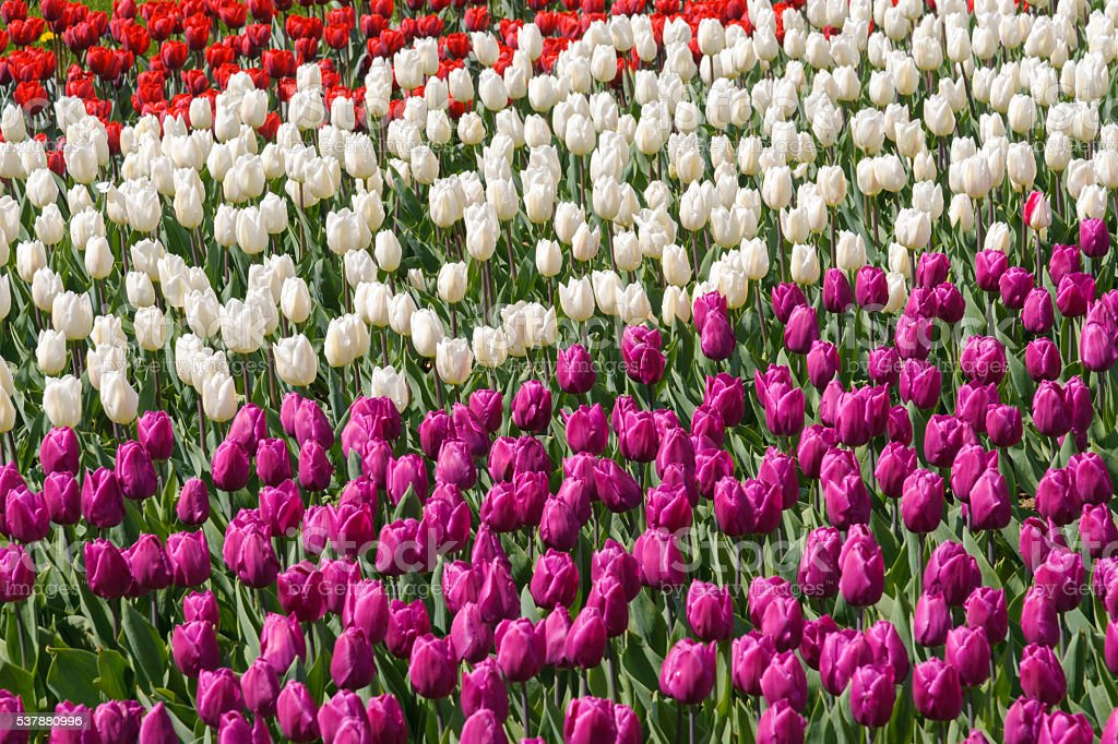colorfull tulips field royalty-free stock photo