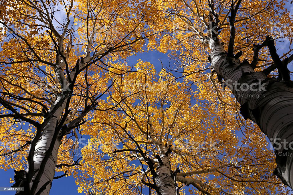 Colors of Fall, Birch trees in autumn stock photo