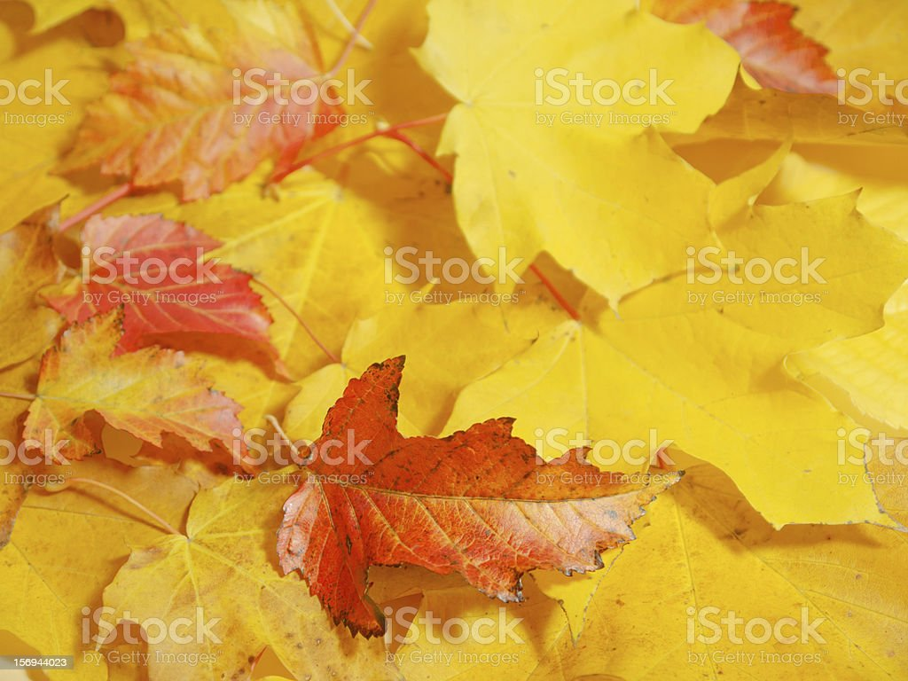 Colors of fall - leaves royalty-free stock photo