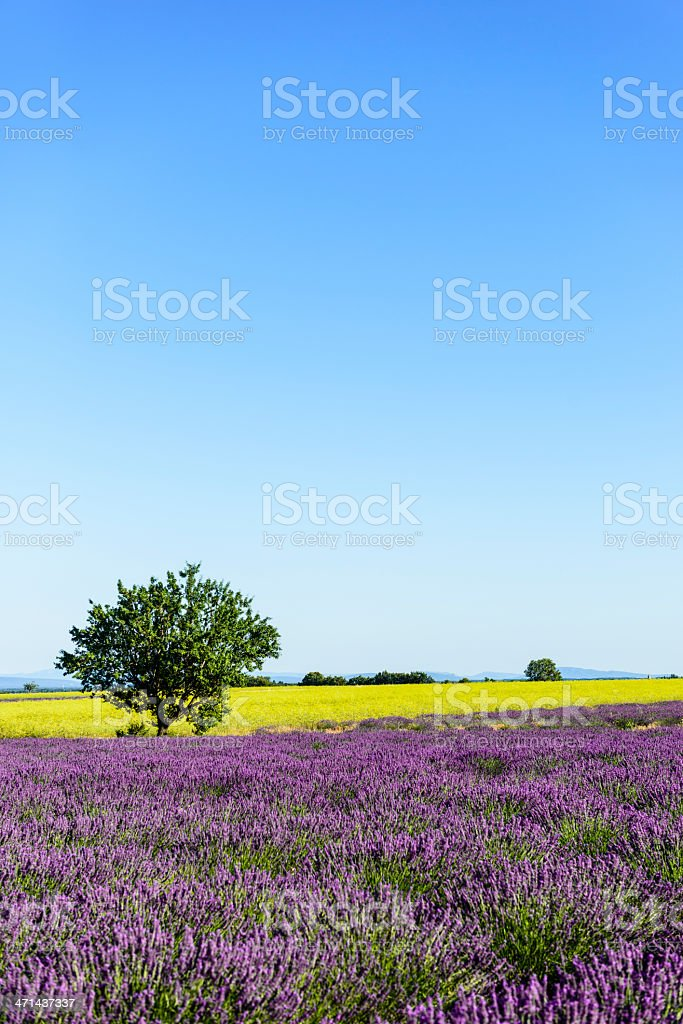 Colors of summer - lavender in the Provence royalty-free stock photo