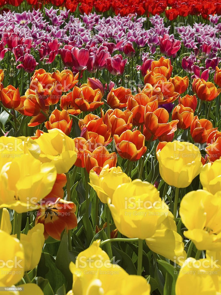 colors of tulips stock photo