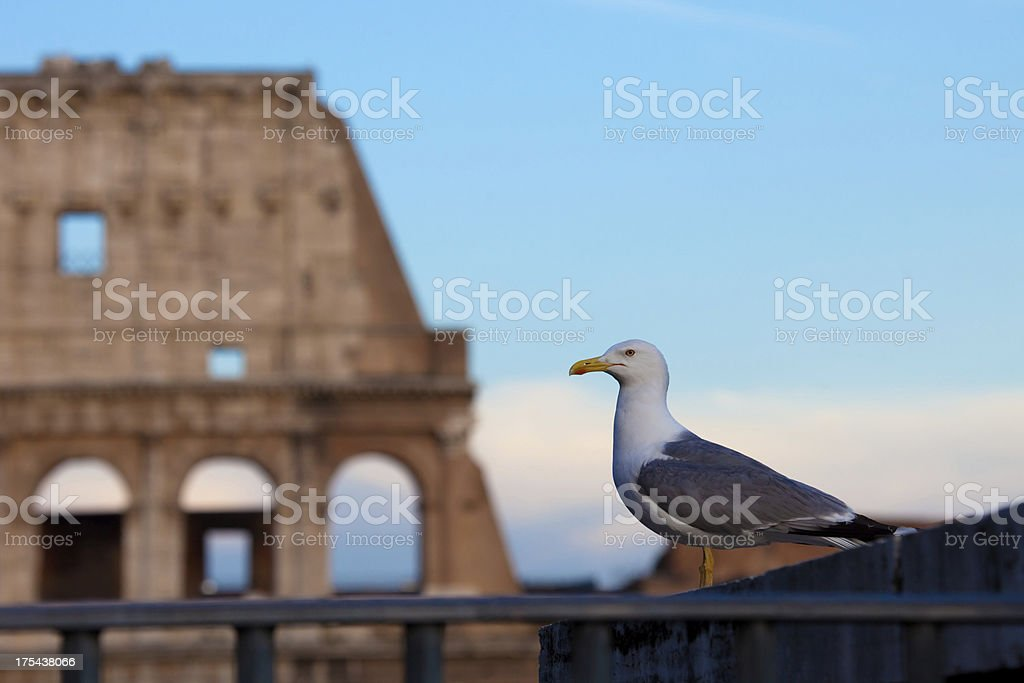 Colosseum rome and a seagull royalty-free stock photo