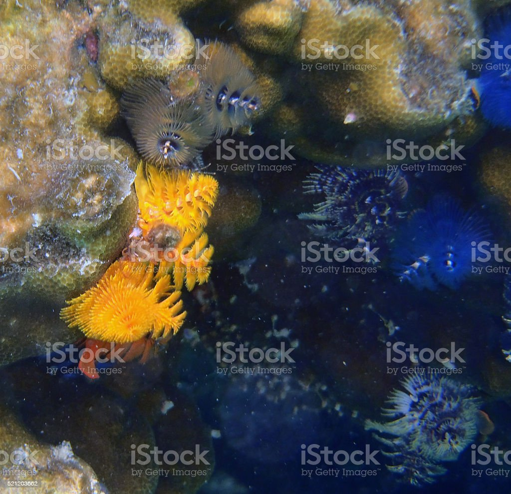 coloured Fanworms among corals in Thailand stock photo