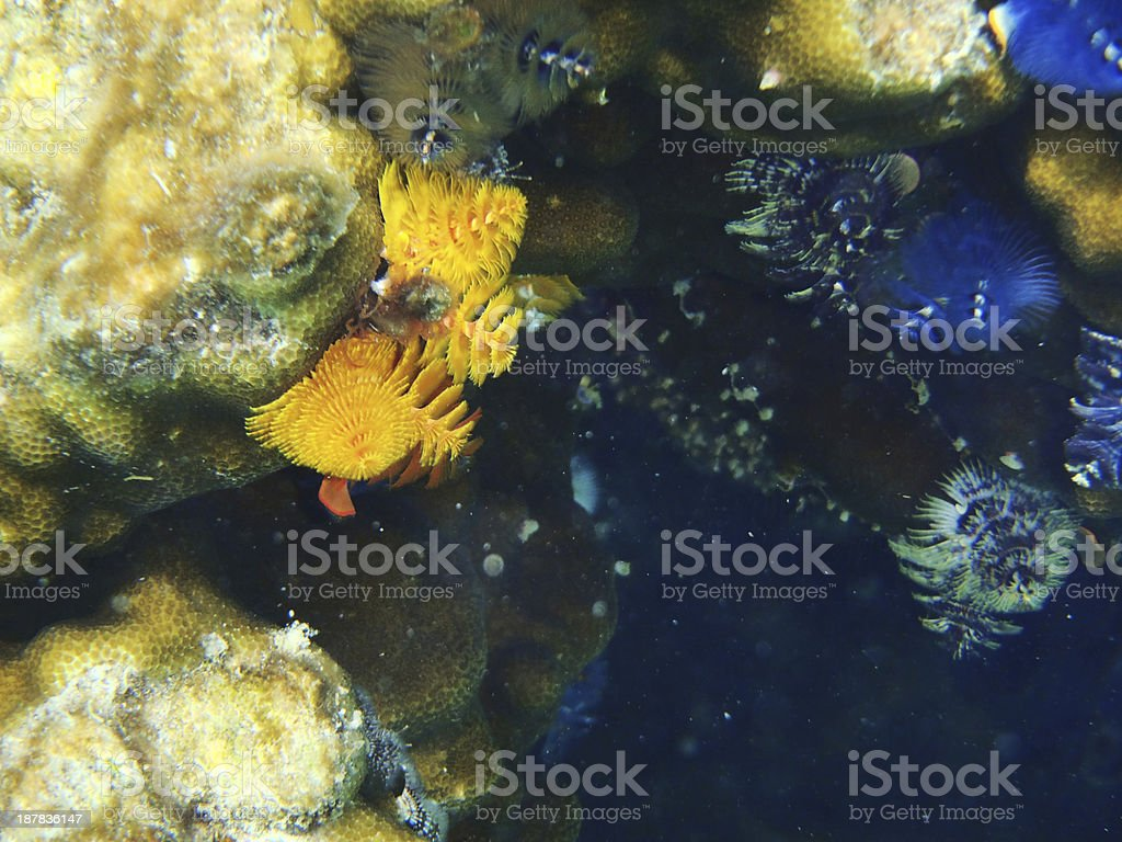 coloured Fanworms stock photo