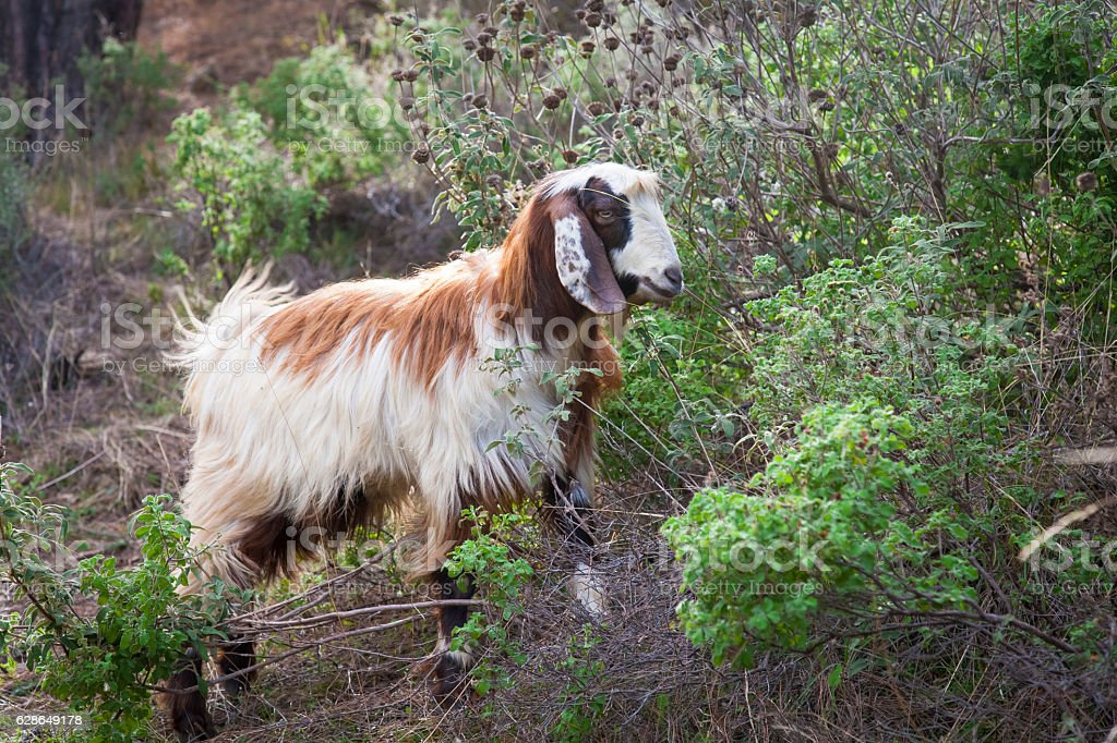 Coloured goat walking alone in nature. stock photo