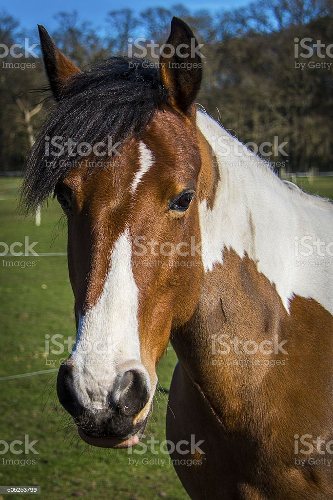 Coloured Horse Portrait royalty-free stock photo