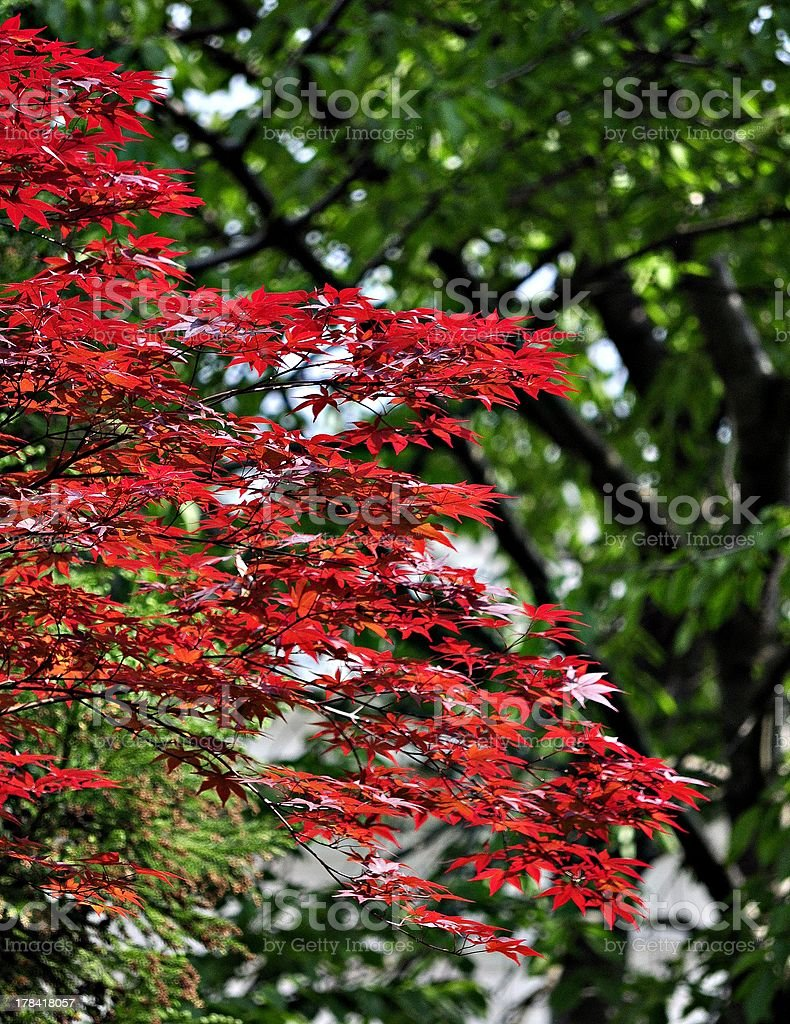 Coloured leaves of a Japanese Maple royalty-free stock photo