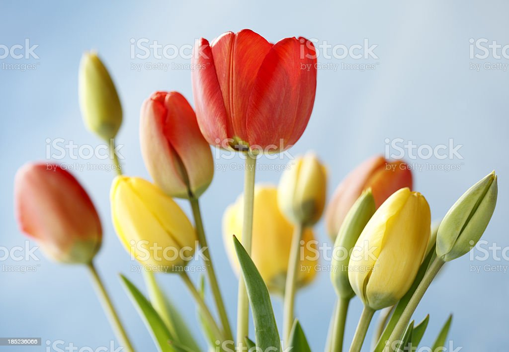 Coloured Tulips and Blue Sky royalty-free stock photo