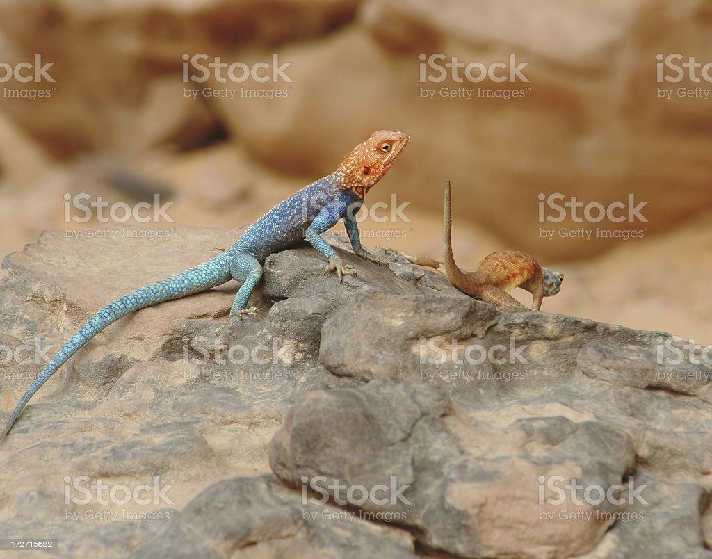 Colourful Agama Lizard Couple stock photo