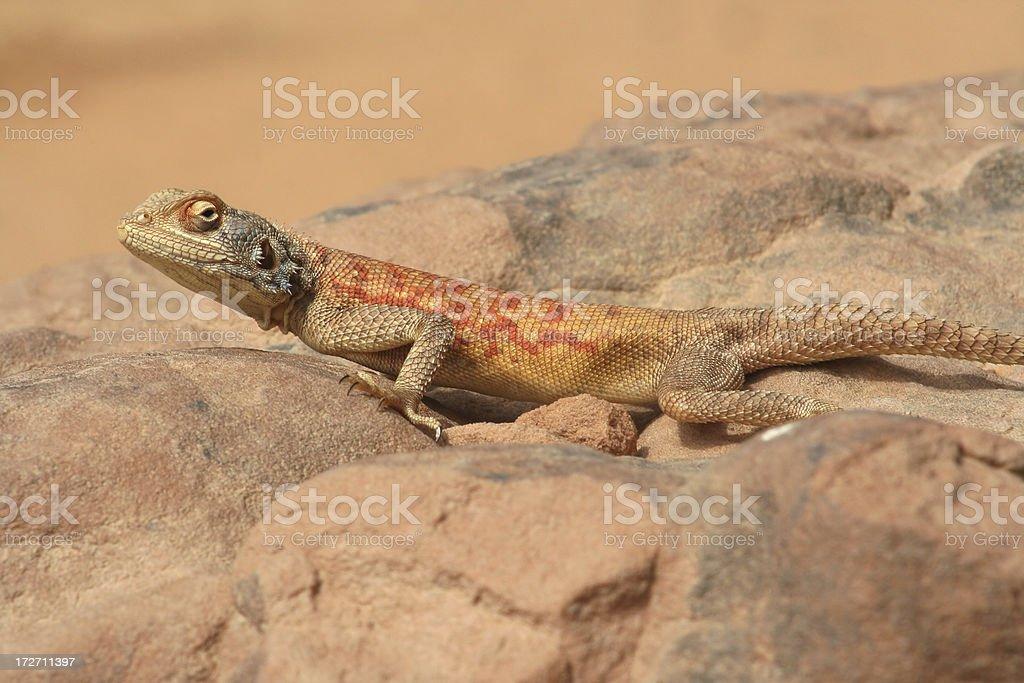 Colourful Agama Lizard Female stock photo