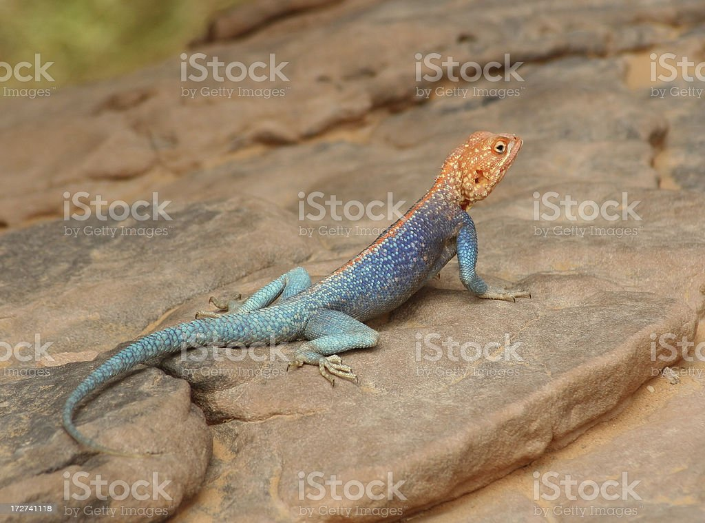Colourful Agama Lizard II royalty-free stock photo