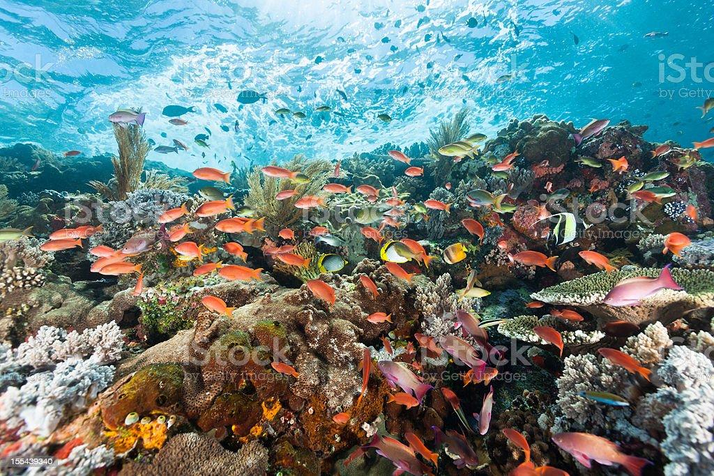 Colourful Anthias Paradise at Sea Mountain, Komodo National Park, Indonesia stock photo