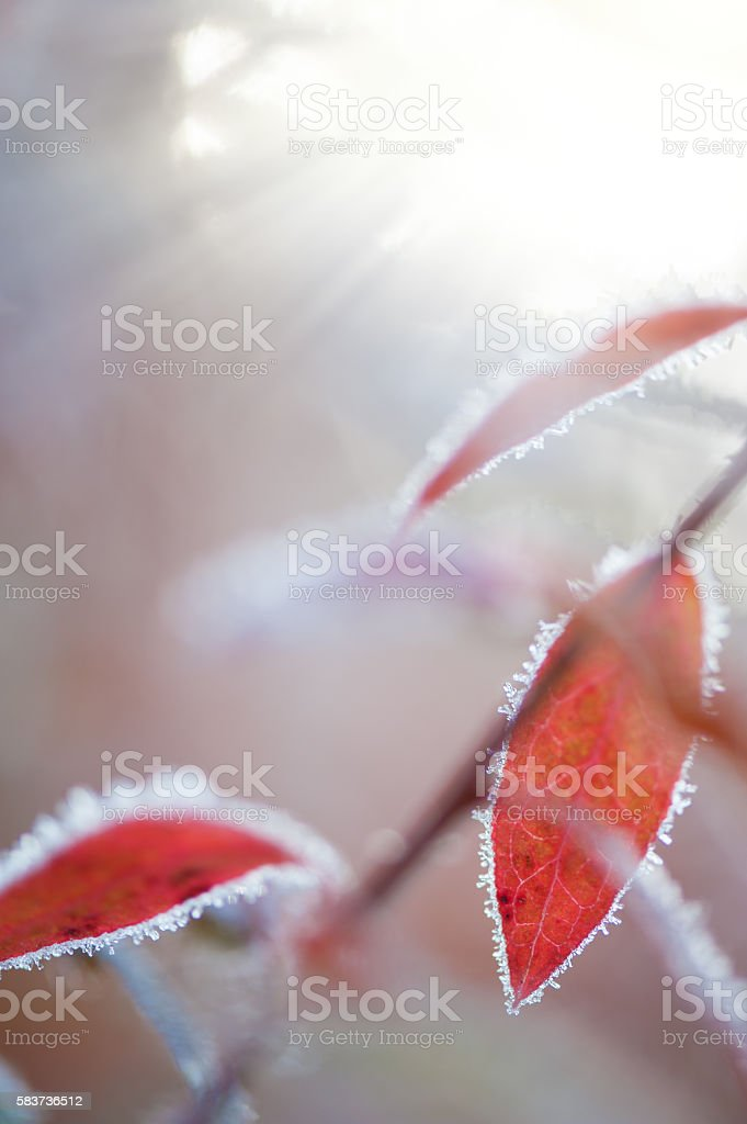 Colourful autumn leaves covered with frost stock photo