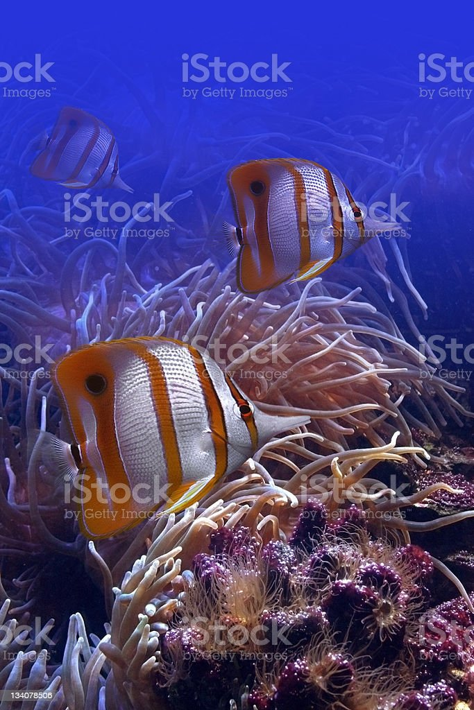 Colourful butterfly-fish royalty-free stock photo