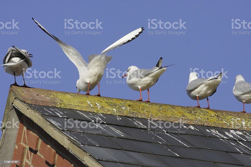 Rear view of seagulls with bird droppings on slate roof stock photo