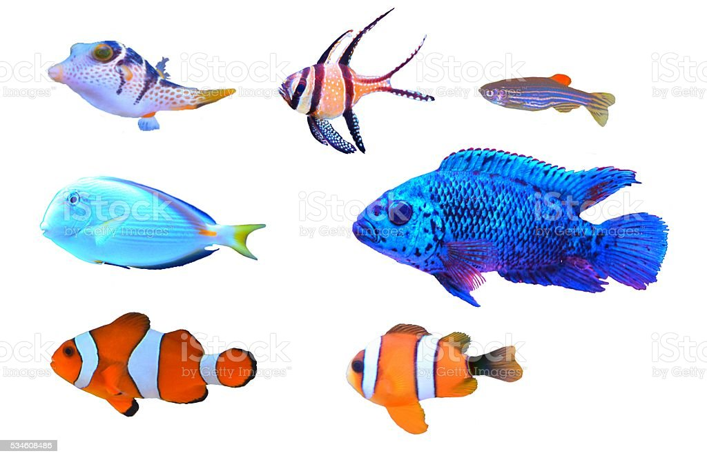 colourful cute tropical fish on a white background isolated stock photo