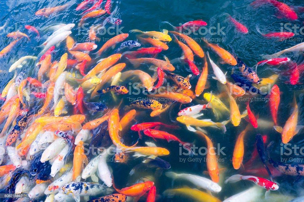Colourful Koi Carp stock photo