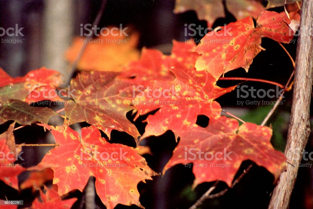 Colourful leaves on a branch royalty-free stock photo