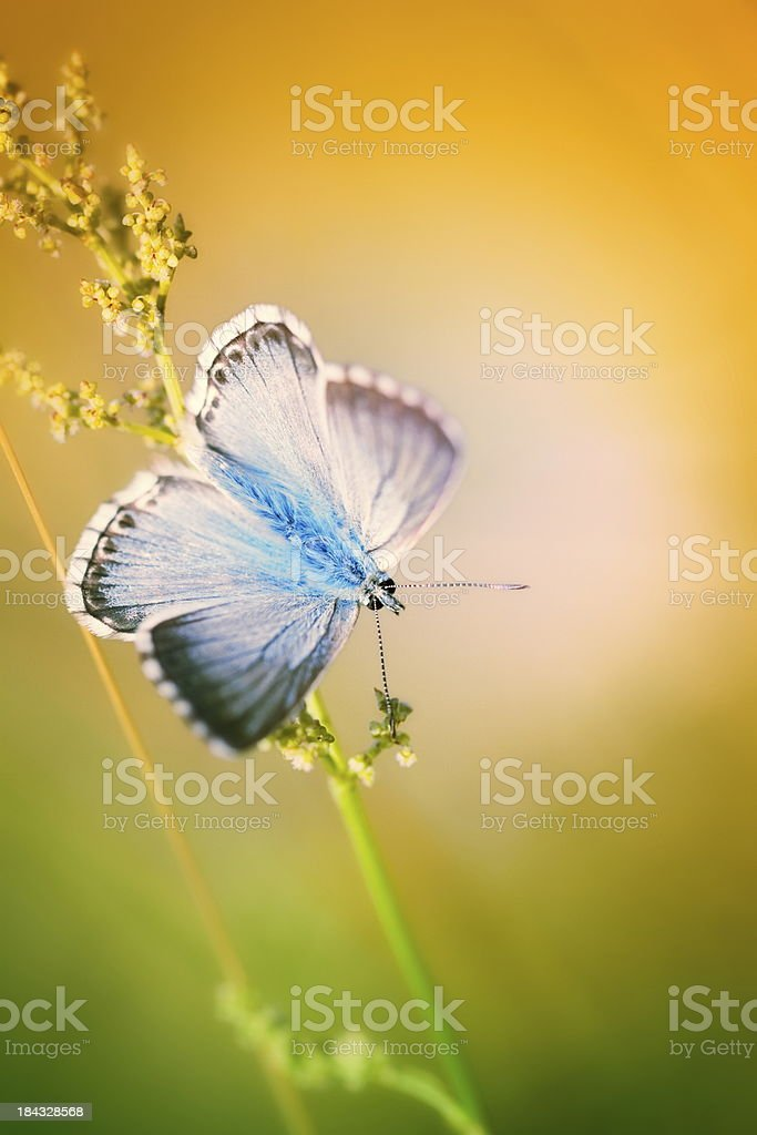 Colourful little butterfly (Common blue) stock photo