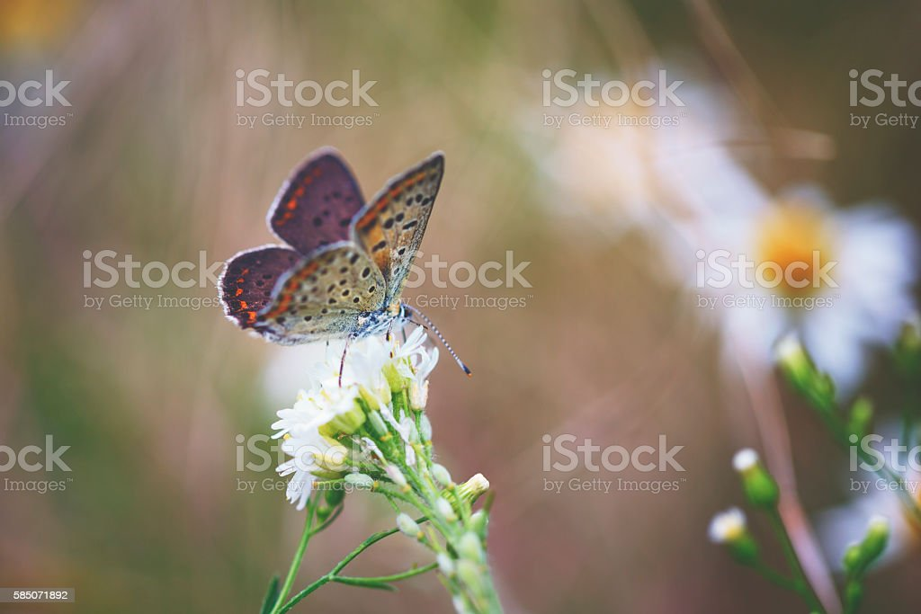 Colourful little female butterfly (Common blue) stock photo