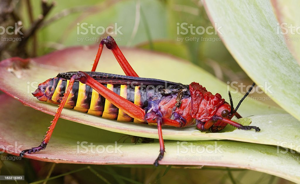 colourful locust on leaf royalty-free stock photo
