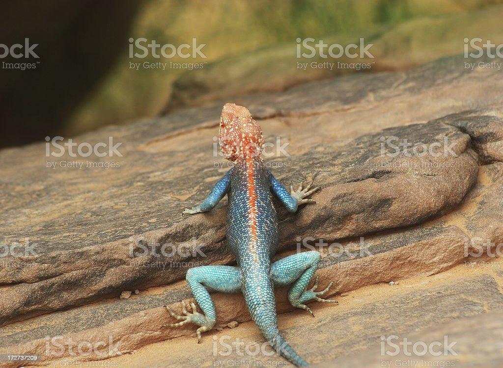 Colourful Male Agama Lizard I stock photo