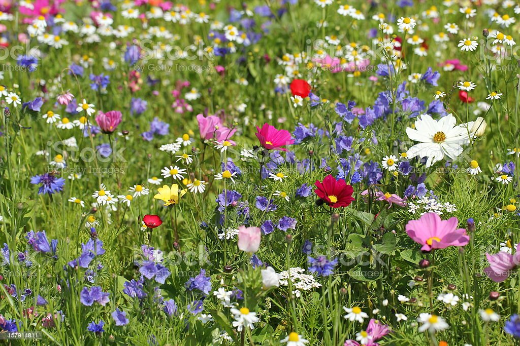 Colourful meadow with flowers and herbs royalty-free stock photo