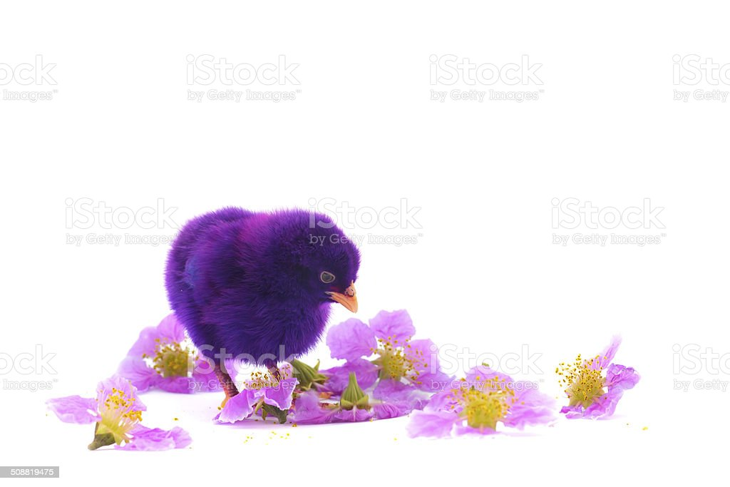 colourful of Cute Chicks stock photo
