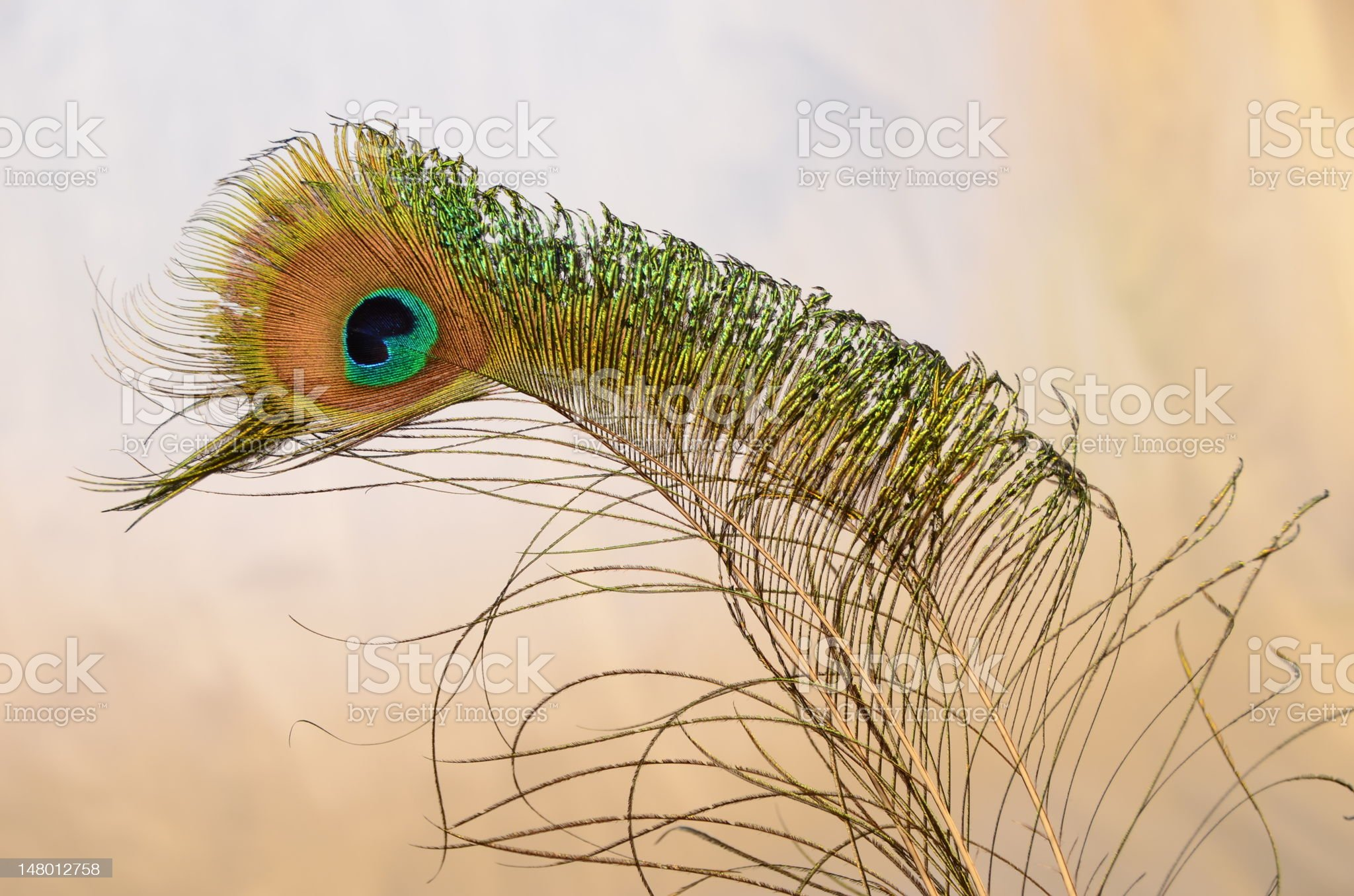 Colourful Peacock - Feathers Isolated on a Light Background royalty-free stock photo