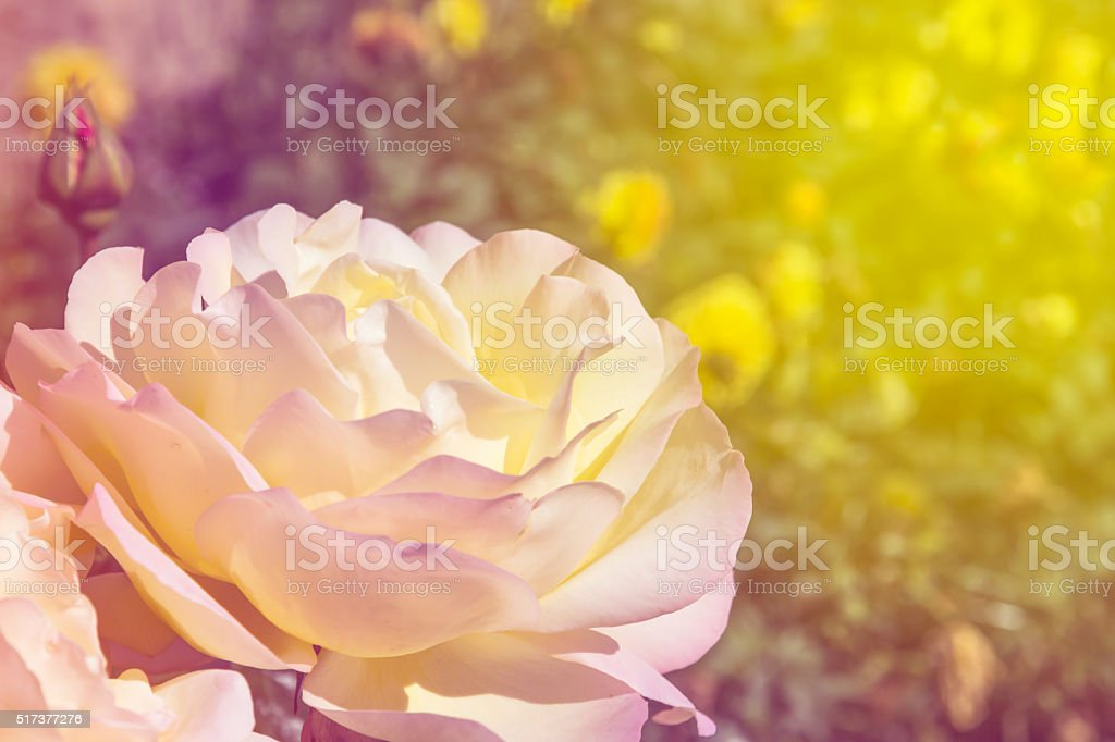 Colourful Rose in Garden stock photo