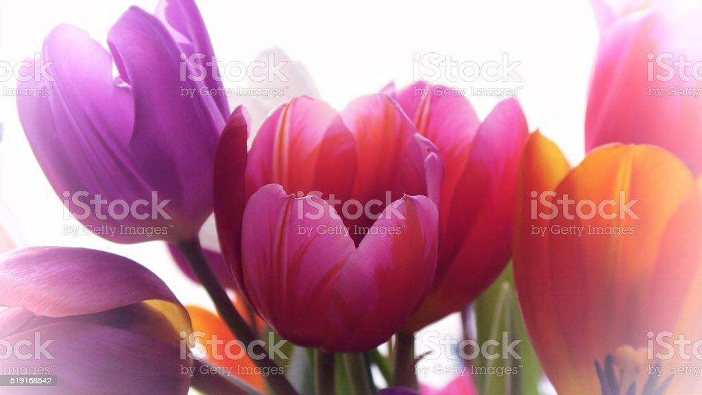 Colourful tulips stock photo