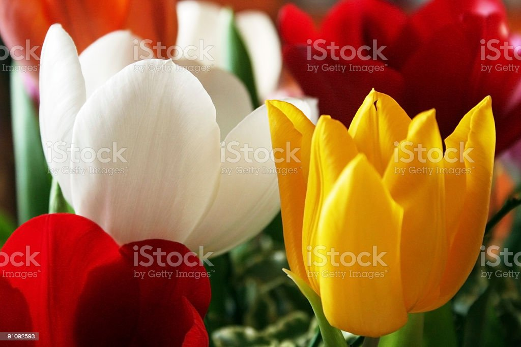 Colourful Tulips royalty-free stock photo