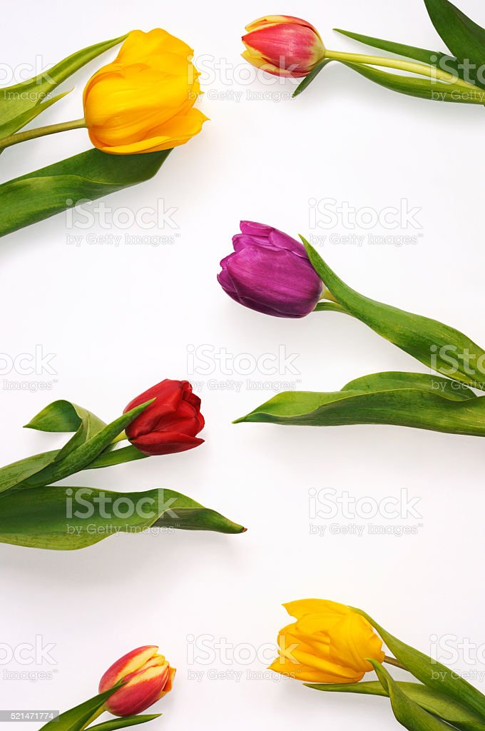 Colourful tulips spread evenly over white background. stock photo