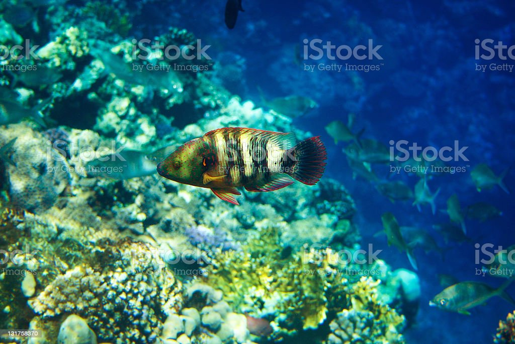 Colourful wrasse. royalty-free stock photo