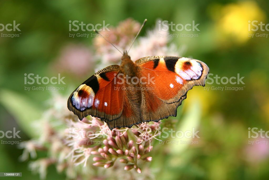 colourfull butterfly royalty-free stock photo